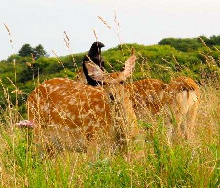 Bird perched on deer in Hokkaido, Japan. All rights reserved © Anna Leah Tabios (2012).
