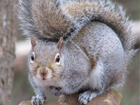 grey_squirrel