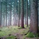 spruceforest_square